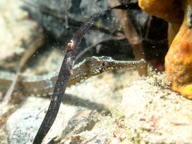 This pipefish has quite a long snout (almost 7 times longer than high), which makes it difficult to decide whether it is Syngnathus acus or S. cf. tenuirostris.