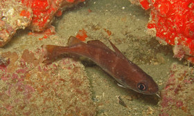 This is most probably a young Trisopterus luscus. But since the specific features (such as the black axillary spot or the contiguous anal fins) are not visible, it could also possibly be a young Trisopterus minutus.
