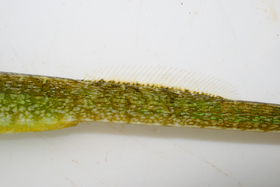 This form differs from the deep-snouted pipefish found in Venice Lagoon by a stouter body and a deeper snout.