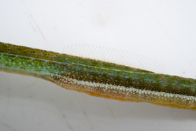 This slender form of deep-snouted pipefish seems to fit with the description of the subspecies Syngnathus typhle rotundatus.