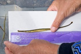 This pipefish of the typhle group is bigger and more bulky than the lagoon swimming pipefish, from which it also differs by proportionally smaller eyes. It also differs from the Mediterranean deep-snouted pipefish (Syngnathus typhle rondeletii), which snout is as deep as body height. Up to now, this rare species has been seen in two southern French lagoons: Thau and Leucate.
