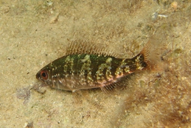 It is hard to tell whether this fish photographed at night is Spicara maena or S. flexuosa.