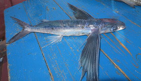 Since the fish has been damaged by the net, it is difficult to count the number of predorsal scales. However, it is too high for a species of Hirundichthys or Exocoetus.