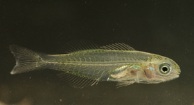 This small fish looks like a young Sparus aurata (pigment pattern on head and along the base of caudal, anal and dorsal fins; beek-like mouth). This hypothesis seems logical since February is the normal larval recruitment period for this species. This fish, however, has 10 dorsal fin spines when Sparus aurata normally has 11. New records from this area could help determine if this is an aberrant case.