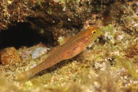 This goby with dots and dashes belongs to the north-eastern Adriatic morph of Gobius auratus.