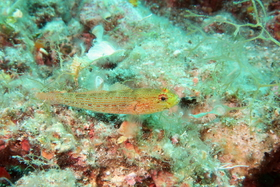 This fish looks superficially similar to Gobius xanthocephalus but it actually is an unusual colour form of G. auratus, with red speckles and dashes, which is specific to the north-eastern Adriatic Sea.