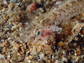 This goby is different from Zebrus zebrus because of its tubular nostrils with no lappet and the upper pectoral rays that are not completely free from the fin membrane.