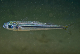 Two different sand smelt forms have long been confused under the name Atherina boyeri: a marine form and a lagoon form (A. boyeri sensu stricto). In this specimen, observed in an area connected to the open sea, pigment cells on the back are regularly distributed (lace along scale edges), with no larger black patches, which seems to be a feature of the marine form.