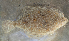 This juvenile flounder is identified by the number of dorsal rays (62 vs. at least 65 in plaice and dab), the number of anal rays (43 vs. at least 48 in plaice and 50 in dab) and by the presence of perceptible spiny knobs along these fins.
